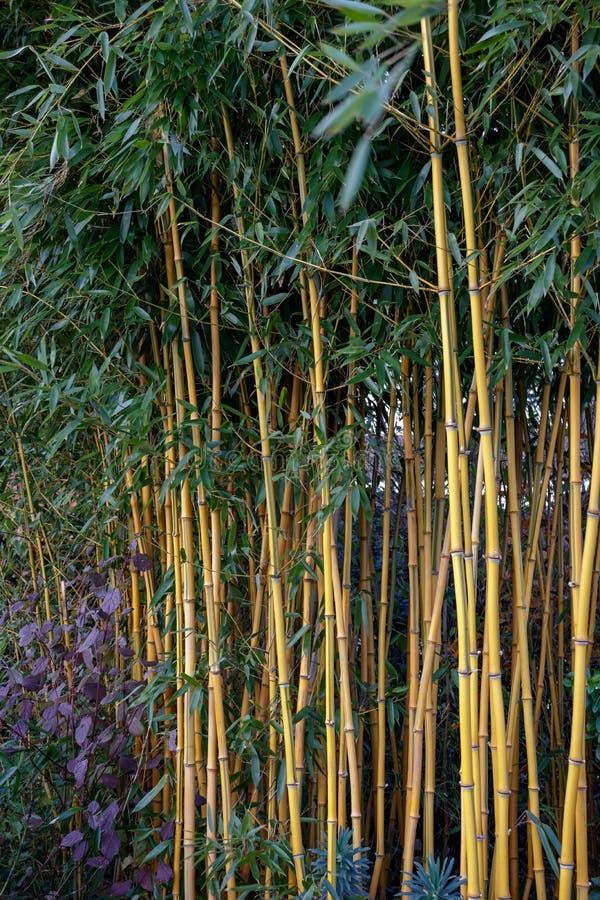 Kępa Bambusowy dorośnięcie w parku w Crawley obrazy royalty free
