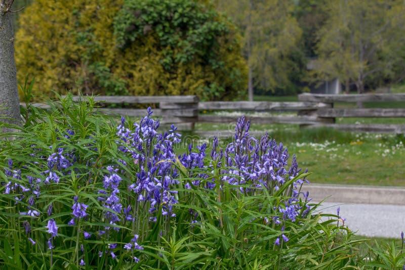 Kępa bluebells, drewniany ogrodzenie i drzewa, Stanley park, Vancou fotografia stock