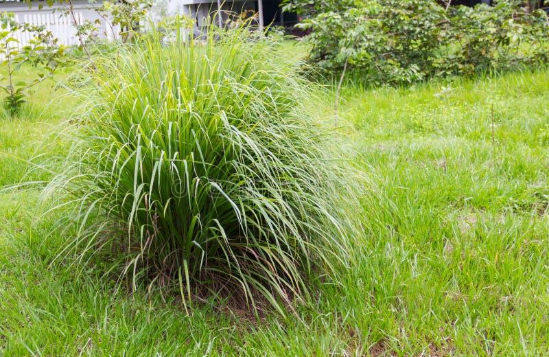 Kępa cytryny trawy dorośnięcie w ogródzie zdjęcia stock