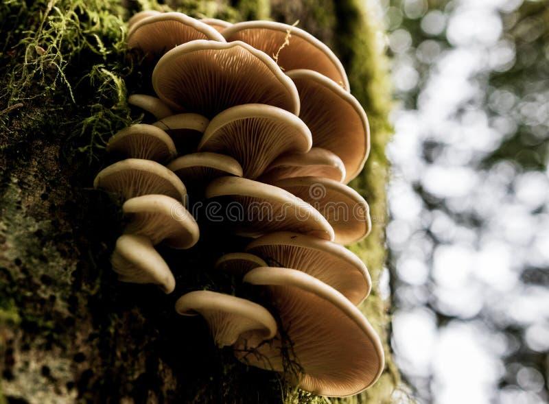 Kępa dzikie pieczarki r na drzewie zdjęcia stock