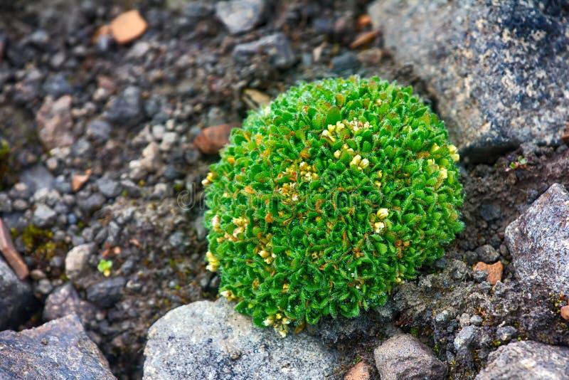 kępa (polster roślina) badan zapobiega penetrację lodowy d obrazy stock