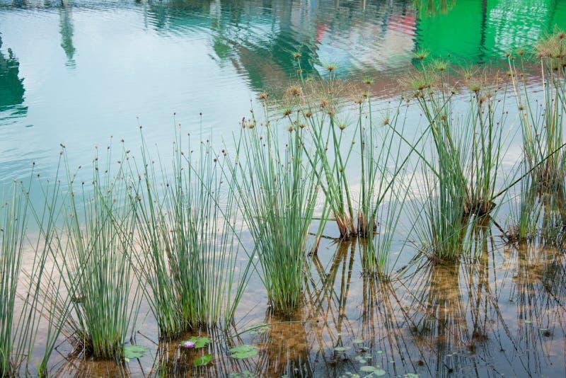 Kępa trawa w wodnym stawie obrazy royalty free