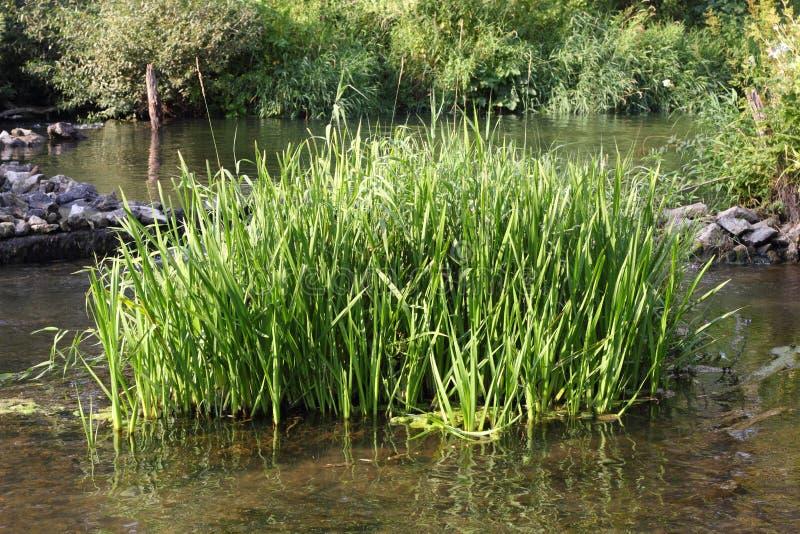Kępa turzyca w wodzie fotografia stock