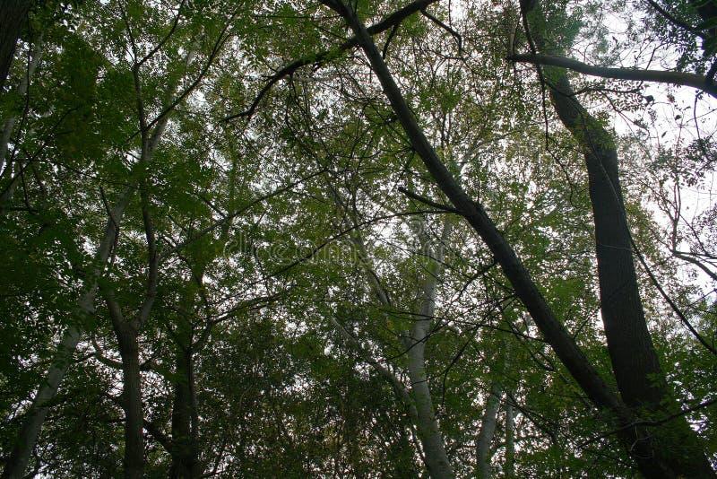 KĘPA WYSOCY drzewa zdjęcie stock