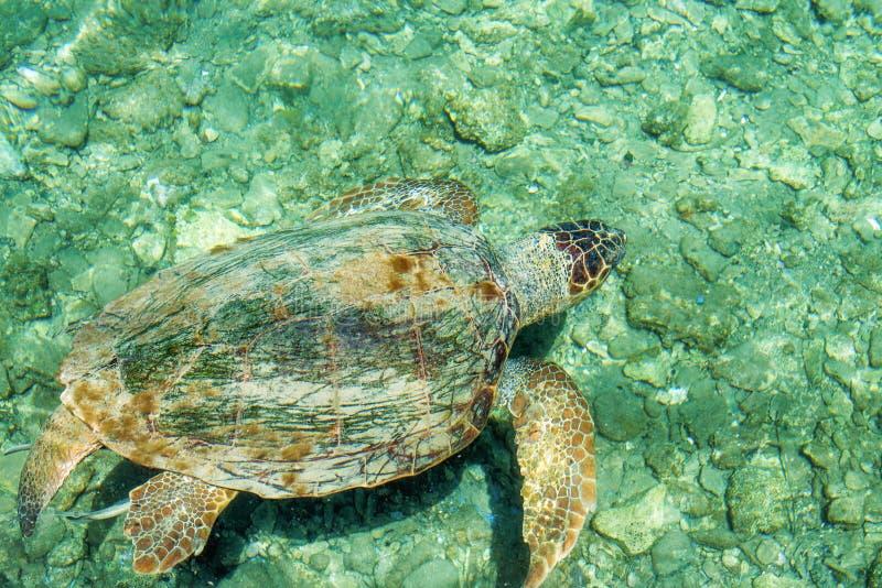 Kłótni Caretta Denny caretta, pływa w zatoce Kasteloriz0 obraz stock