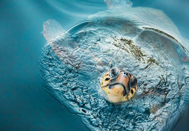 Kłótnia żółw fotografia royalty free