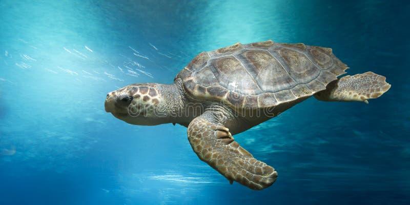 Kłótnia żółw pod wodą obrazy royalty free