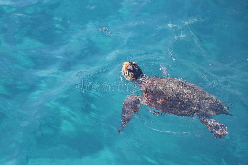Kłótnia dennego żółwia dopłynięcie (Caretta Caretta) zdjęcia royalty free