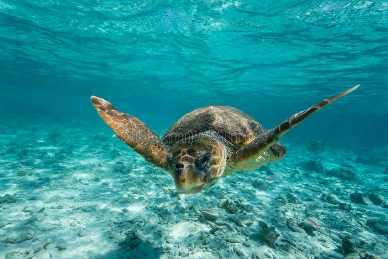 Kłótnia dennego żółwia dopłynięcie na rafie obraz stock