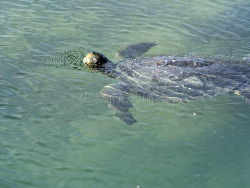Kłótnia denny żółw, Caretta caretta wdychają, Isabela wyspa, Galapagos, Ekwador zdjęcie royalty free