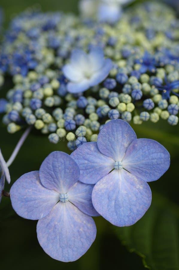 kłąb niebieski hortensi lacecap fotografia royalty free