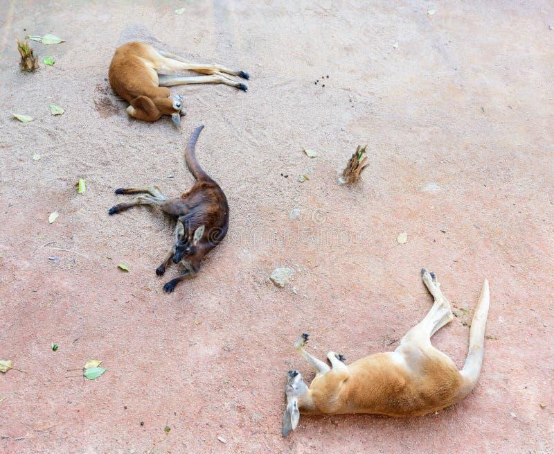 Kłaść w dół kangura fotografia royalty free
