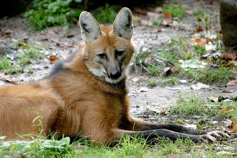 kłamliwy grzywiasty wilk zdjęcia royalty free