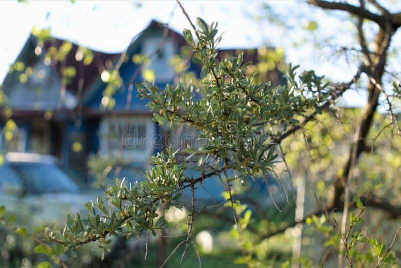 Kłująca gałąź denny buckthorn na zamazanym tle wioska dom obrazy royalty free