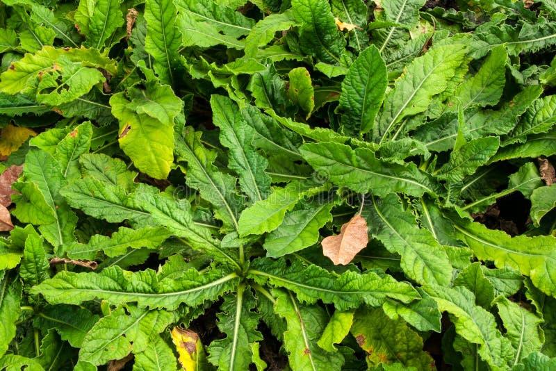 Kłujące Liściaste słoń stopy rośliny fotografia royalty free