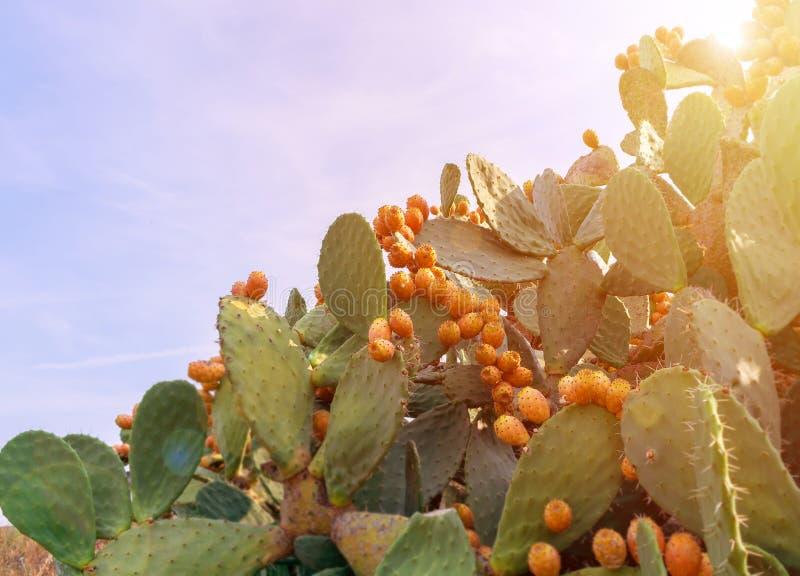 Kłującej bonkrety kaktus z obfitymi owoc ficus opuntia indica fotografia stock