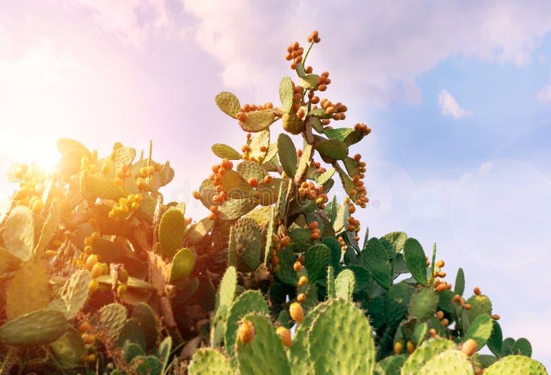 Kłującej bonkrety kaktus z obfitymi owoc ficus opuntia indica zdjęcia royalty free