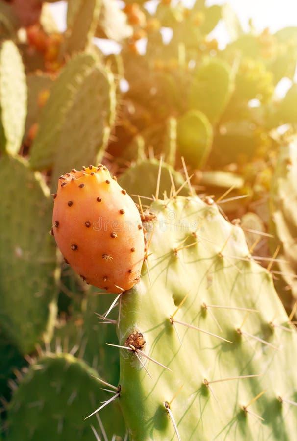 Kłującej bonkrety kaktus z obfitymi owoc Opuntia indica zbliżenie fotografia royalty free