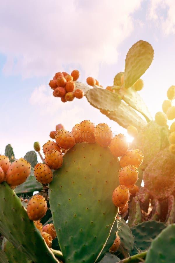 Kłującej bonkrety kaktus z obfitymi owoc Opuntia indica zbliżenie obraz stock