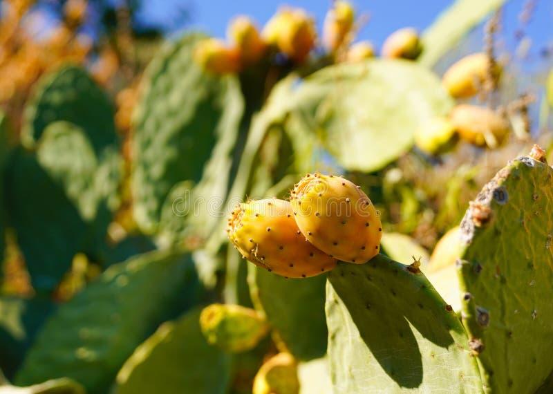 Kłującej bonkrety kaktus z owoc zdjęcie stock