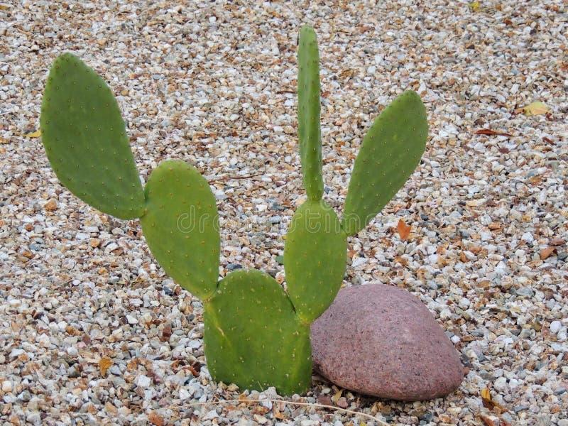 Kłującej bonkrety kaktusa zakończenie w górę patrzeć jak Mickey Mouse ucho w Arizona pustyni Opuntia jest genus w kaktusowej rodz zdjęcie stock