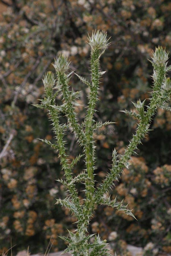 Kłujący dziki wyprostowywa rośliny zdjęcie royalty free