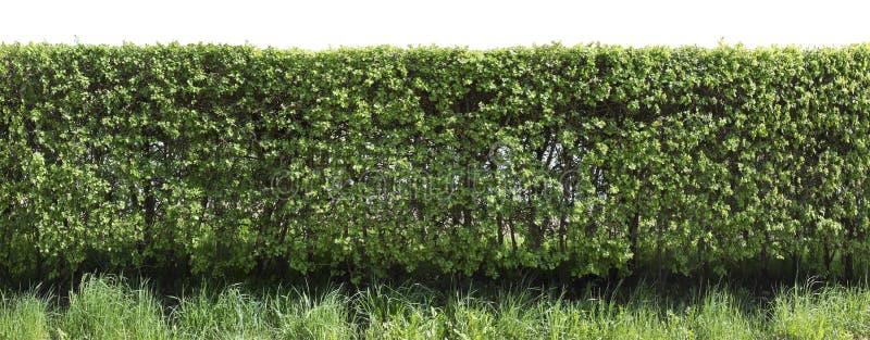 Kłujący głogu ogrodzenia czerep zdjęcie stock