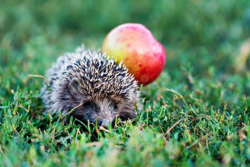 Kłujący jeż na zielonej trawie blisko jabłka obraz stock