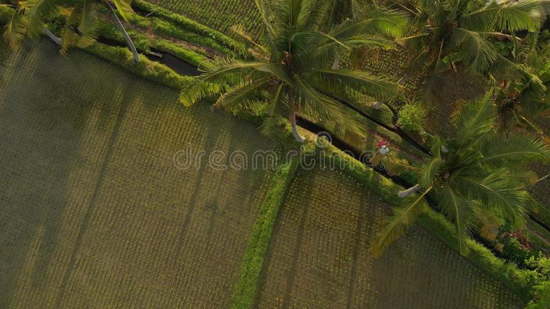 4K鸟瞰图年轻蜜月加上飞行录影小狗在巴厘岛密林,米调遣 热带 免版税库存图片