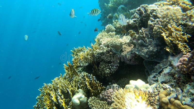 4k - arrecife de coral hermoso en el Mar Rojo con muchos pescados asombrosos fotografía de archivo libre de regalías