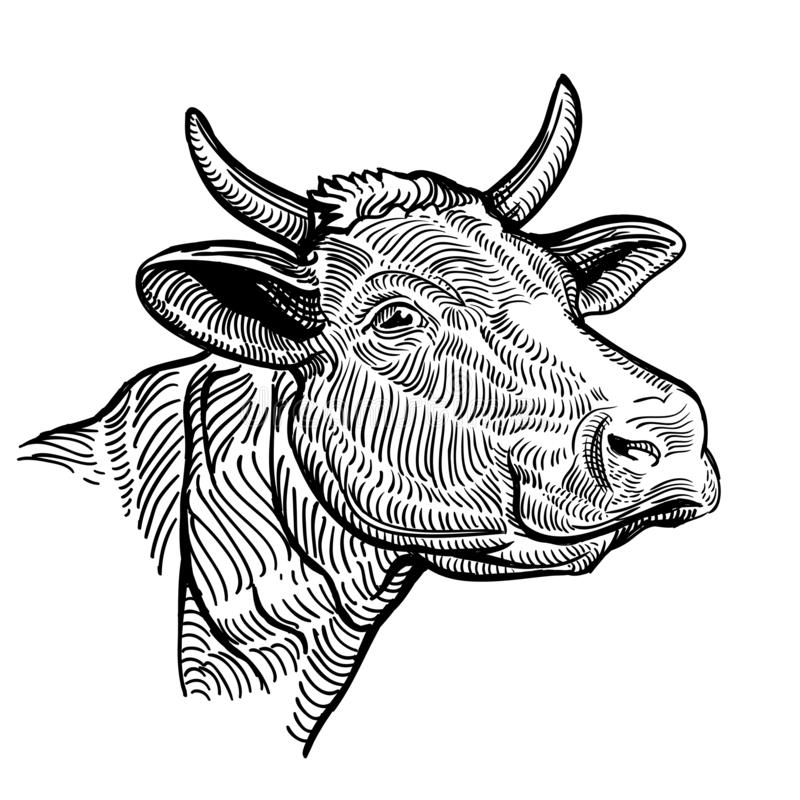 Cow head close up, in a graphic style. Vintage illustration isolated on white background vector illustration