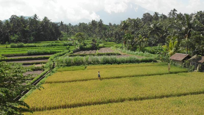 4K flying aerial video of woman walking on the rice field close to volcano Agung. Bali island. 4K flying aerial video of women walking on the rice field close royalty free stock image