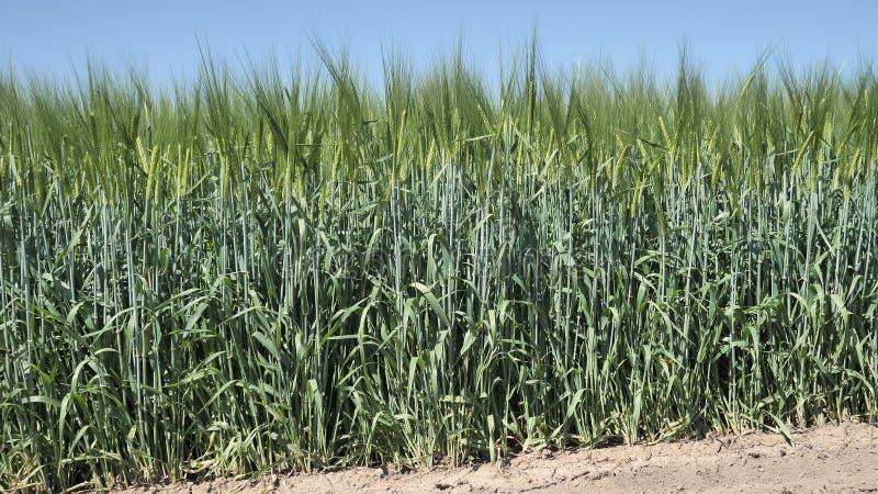 4k groen Gebied van Organische onrijpe Tarwe vóór verwerking met herbiciden en meststoffen voor een grote oogst op het Blauw stock foto's