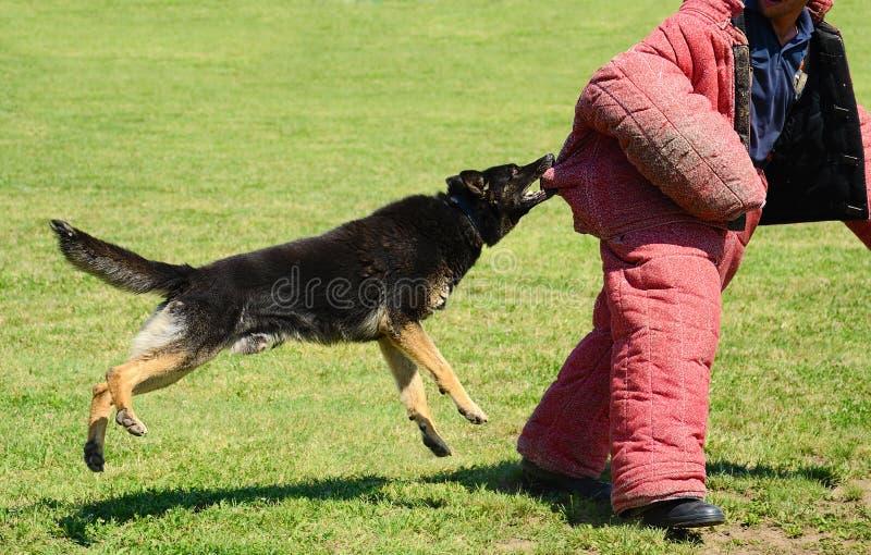 K9 hond in opleiding, aanvalsdemonstratie stock foto's