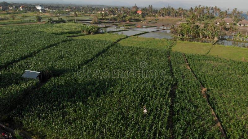 4K lucht het vliegen hommelvideo van jonge paartoeristen die in cornfield lopen Het eiland van Bali stock fotografie