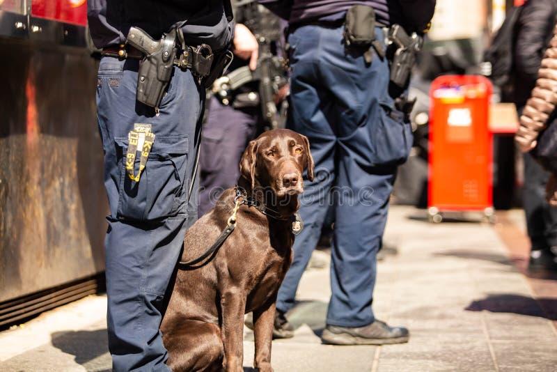 K9 Milicyjny pies wraz z oficerem na obowiązku fotografia royalty free