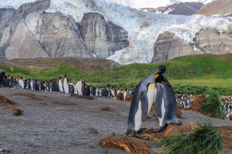 K?nig Penguins auf Goldhafen stockfotografie