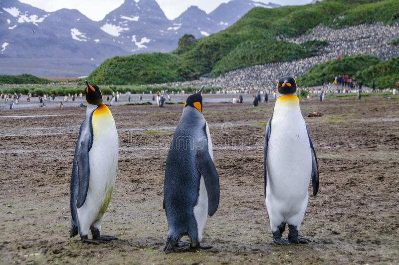 K?nig Penguins auf Salisbury-Ebenen stockbild