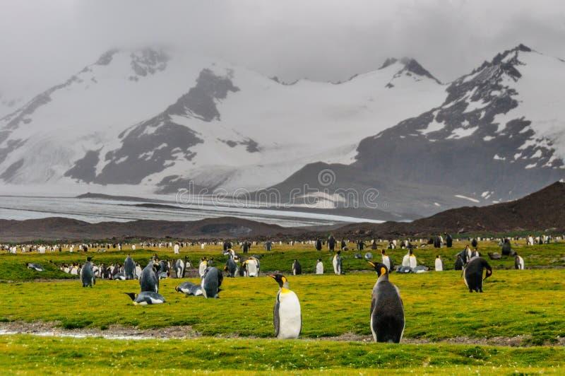 K?nig Penguins auf Salisbury-Ebenen lizenzfreie stockfotos