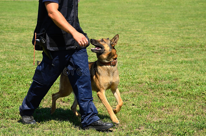 K9 police officer with his dog. In training stock images