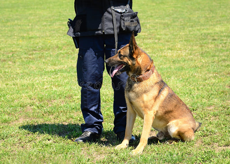 K9 police officer with his dog. In training stock photos