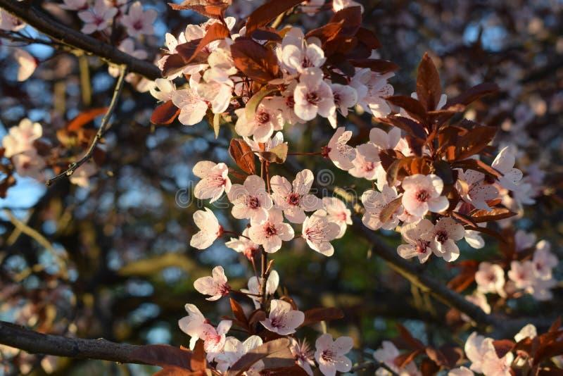 K?rsb?rsr?d blomma som blommar i v?r royaltyfri fotografi