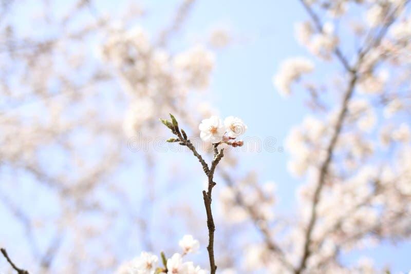 K?rsb?rsr?d blomning p? den Inatori h?glandet royaltyfri foto