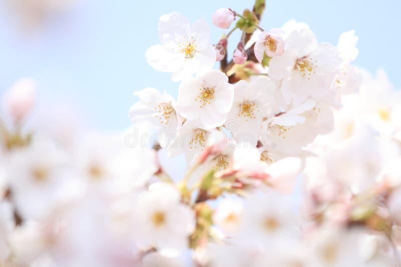 K?rsb?rsr?d blomning p? den Inatori h?glandet royaltyfria foton