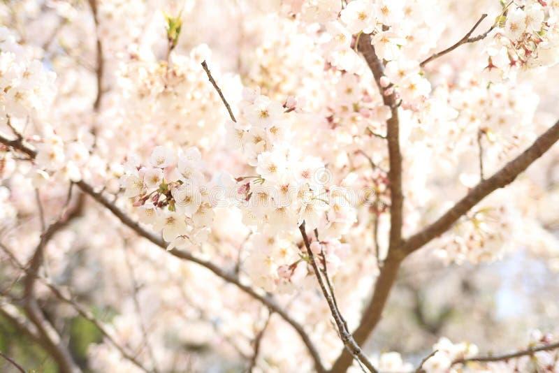 K?rsb?rsr?d blomning p? den Inatori h?glandet arkivfoton