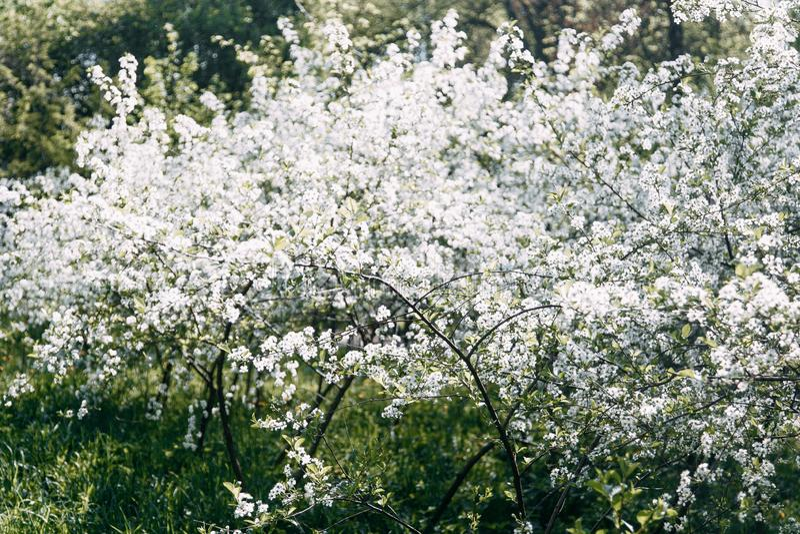 K?rsb?rsr?d Tree K?rsb?rsr?d frukttr?dg?rd i blom arbeta i tr?dg?rden t?ta blommor f?r Cherry tulpan f?r r?d fj?der upp white arkivbild