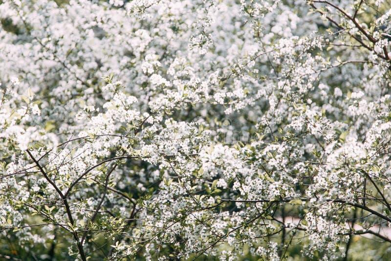 K?rsb?rsr?d Tree K?rsb?rsr?d frukttr?dg?rd i blom arbeta i tr?dg?rden t?ta blommor f?r Cherry tulpan f?r r?d fj?der upp white royaltyfri foto
