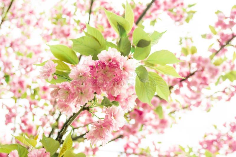 K?rsb?rsr?da blomningar f?r v?r, rosa f?rgblommor Sakura royaltyfria foton