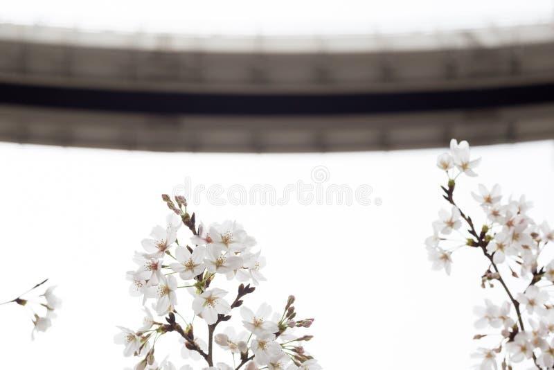k?rsb?rsr?da blomningar i chiba royaltyfri foto