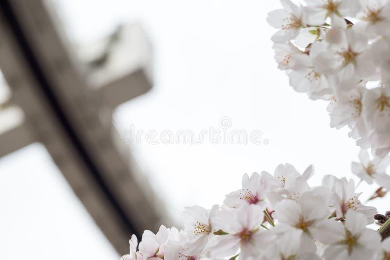 k?rsb?rsr?da blomningar i chiba arkivfoto